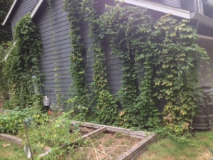 Hops growing along the side of the garage.